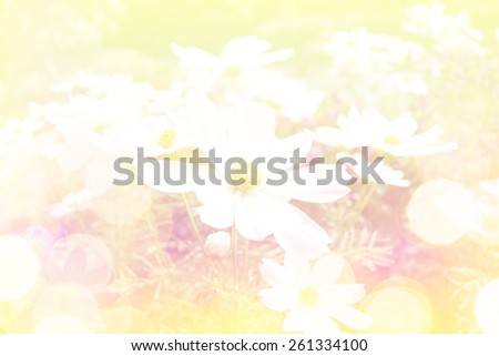 Blurred dreamy cosmos flowers for background. - stock photo