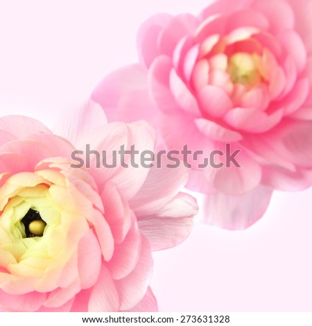 Blurred flowers background. Natural blurry buttercup flowers on a pink background - stock photo