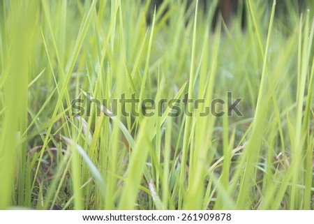 blurred fresh thick grass with water drops in the early morning - stock photo