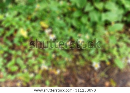 Blurred image  Allamanda,Beautiful yellow bloom morning rain and bright new look .used for background.