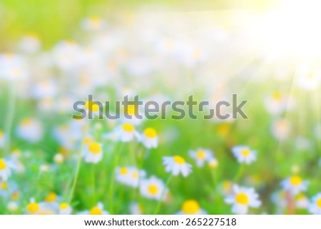 Blurred image for the background. Abstract image with elements from nature. Open field with white chamomile flowers. Background to use for the substrate for texts about spring, summer, nature. Effect. - stock photo