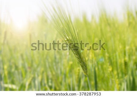 blurred image of wheat field for background