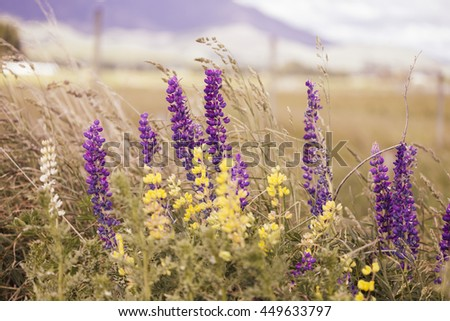 Blurred of beautiful colorful blooming lupine flower on blurry background-Vintage themes