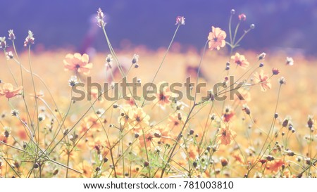 Blurred of image Cosmos flower with pastel color background (selective focus)