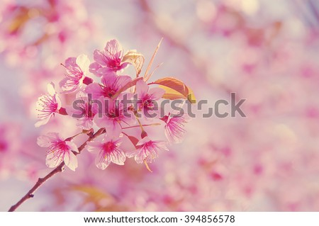 Blurred of Pink Wild Himalayan Cherry in soft pastel color,vintage style for background