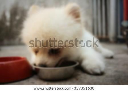 Blurred of white pomeranian dog eat dog food. - stock photo