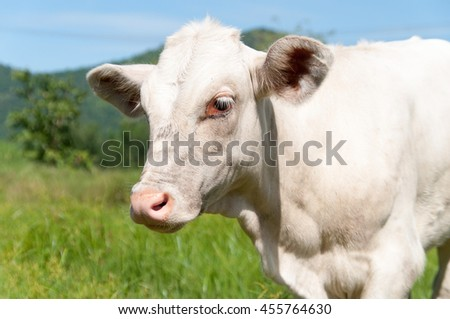 blurred of young white cow grazing in the middle of the green meadow in the mountains