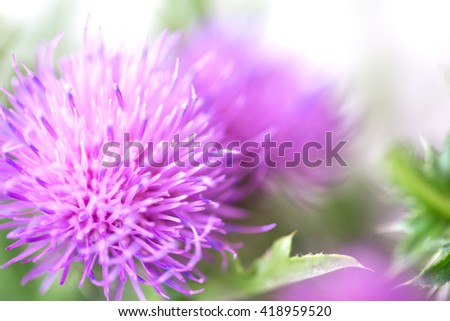 Blurred pink Blessed milk thistle flower, close up, shallow dof. Silybum marianum herbal remedy, Scotch thistle, Cardus marianus, Marian Thistle, Mary Thistle, Saint Mary's Thistle - stock photo