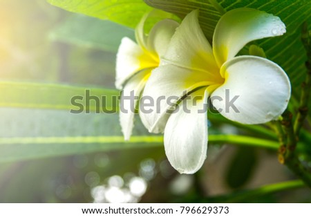 Blurred plumeria concept. White plumeria and drop water on flower in morning