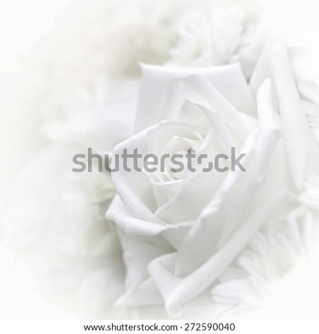 Blurred soft style pure white rose with vignette and iris blur: Background for mothers day card : Happy mother's day: Mothering sunday 2016 UK greeting invitation card concept - stock photo