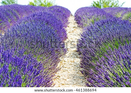 Blurred summer background of  lavender flowers with bee , soft focus / Lavender Field in the summer / lavender flowers