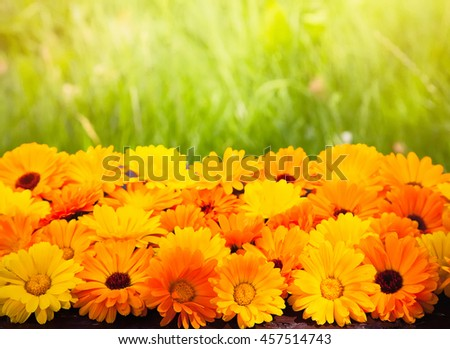 summer outdoors wallpaper. Blurred Summer Background With Flowers Calendula, Marigold. Sunny Day. Wallpaper Of Yellow And Outdoors