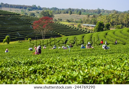 Blurred Tea Collection Tea Plantation Change Ri North of Thailand. - stock photo