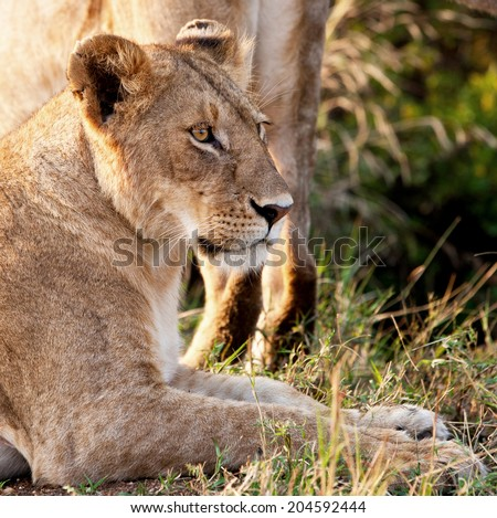 Blurred Vintage style black and white image of an African Lioness in the Maasai Mara National Park, Kenya - stock photo