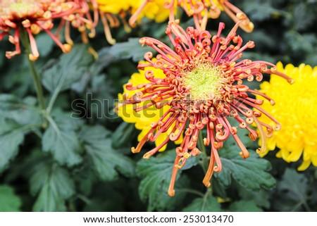 blurry defocused image of blooming red Chrysanthemum flower in the garden - stock photo