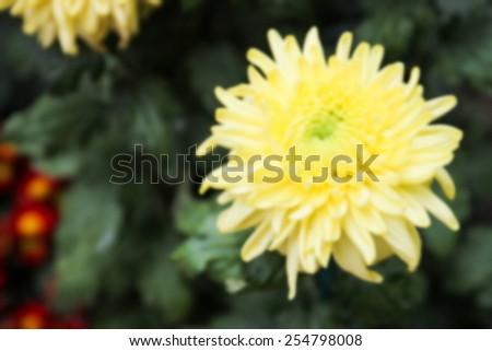 blurry defocused image of blooming yellow Chrysanthemum flower in the garden - stock photo