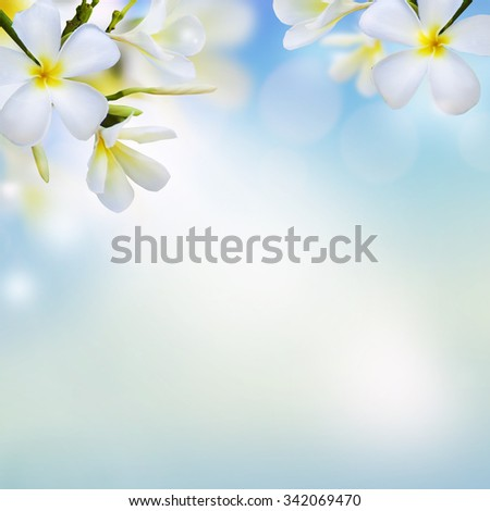 Blurry natural background with white Frangipani flowers (Plumeria). Spring (summer) design flower background. - stock photo
