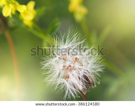 Blurry spring background with white dandelion. Defocused