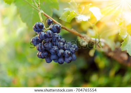 Blurry  Sunlight Sunset black grapes and green leaves
