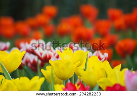blurry tulips in spring, colorful tulips field used for  background
