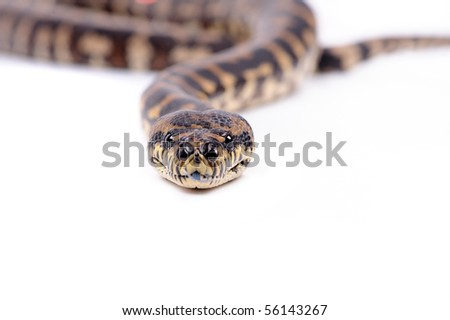 boa cobstrictor - stock photo