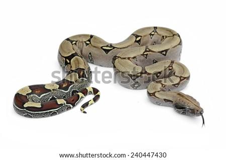 Boa constrictor (Boa constrictor) - stock photo