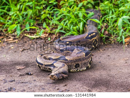 Boa constrictor comes out of the jungle - stock photo