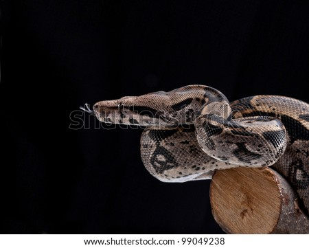 Boa constrictor on black  background - stock photo