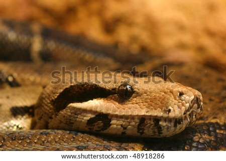 Boa constrictor snake, nature animal photo - stock photo