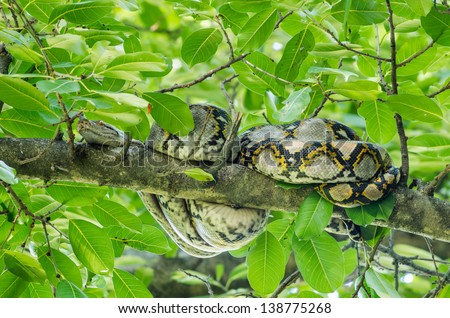 Boa couch curled up in a tree. In the daytime. - stock photo