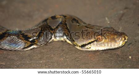 boa snake - stock photo
