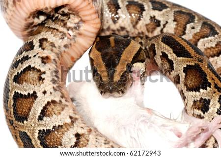 boa snake eat rat isolated on white - stock photo