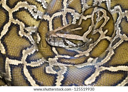 Boa snake from top view, Bangkok, Thailand - stock photo