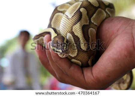 Boa snake in the hand human