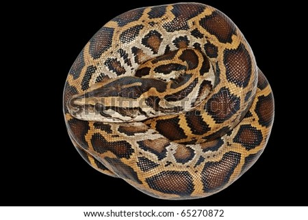 boa snake isolated on black background - stock photo