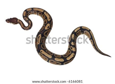Boa Snake - isolated on white - stock photo