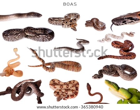 Boa snakes set , isolated on white background