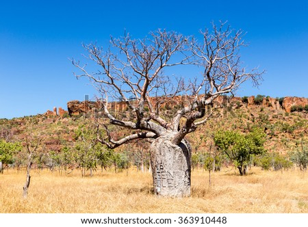 Boab tree unique to Kimberley region Western Australia