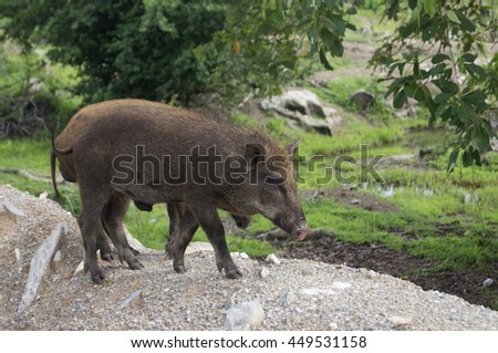 Boar is walking in green filed, Pig wild family