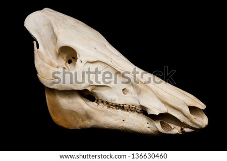 Boar skull lateral view isolated on black background