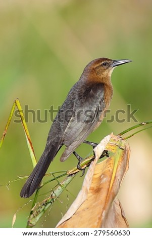 Boat-tailed Grackle (Quiscalus major) with a green background - stock photo