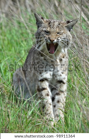 Bobcat Fangs - stock photo