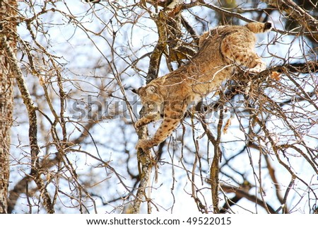 bobcat jumping from tree