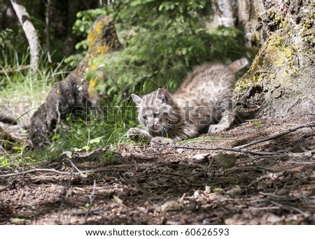 Bobcat kitten - stock photo