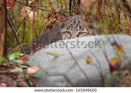 Bobcat Kitten (Lynx rufus) Hides Behind Rock - captive animal - stock photo