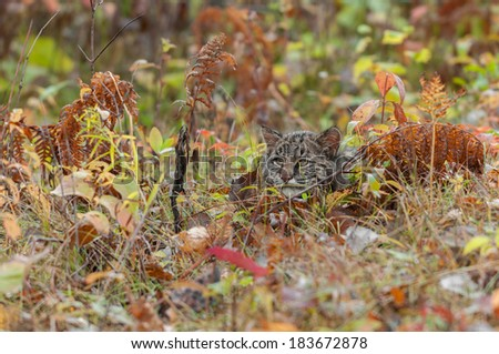 Bobcat Kitten (Lynx rufus) Hides in the Grasses - captive animal - very tight depth of field - stock photo