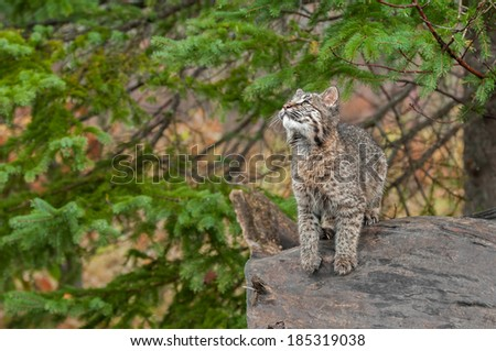 Bobcat Kitten (Lynx rufus) Looks Up While Preparing to Leap - captive animal - stock photo