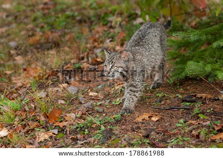 Bobcat Kitten (Lynx rufus) Stalks Along Ground - captive animal - stock photo