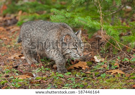 Bobcat Kitten (Lynx rufus) Stalks Along the Ground - captive animal - stock photo