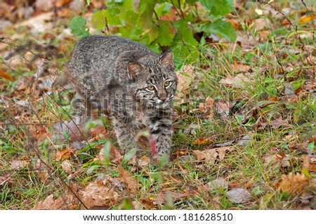 Bobcat Kitten (Lynx rufus) Stalks Through Grasses - captive animal - stock photo